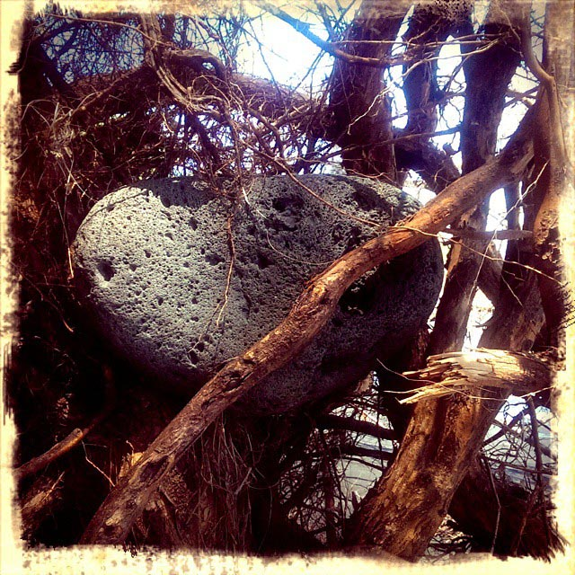 boulder in roots at kehena beach
